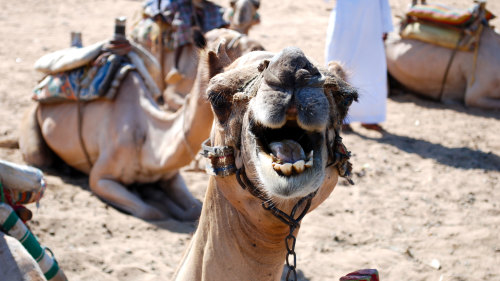 Private Tour of St Simeon Monastery & Camel Ride