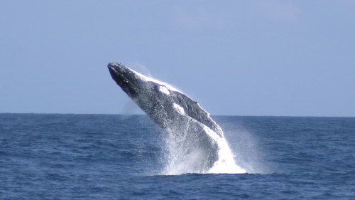 Moreton Bay Whale-Watching Cruise
