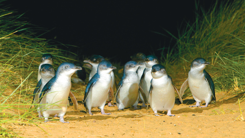 Phillip Island Penguins Direct Tour by Melbourne