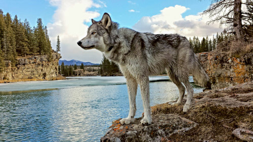 Yamnuska Wolfdog Sanctuary Tour