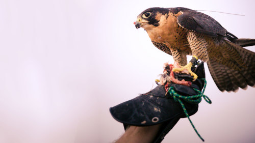 Falconry Demonstration & Desert Wildlife Sunrise Safari