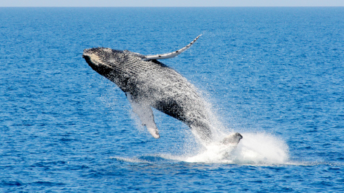 Whale Watching Cruise by Rottnest Express
