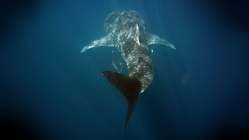 Ningaloo Whale Shark Discovery Cruise by Ocean Eco Adventures
