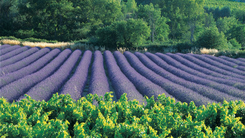 Roussillon, Gordes & Lavender Fields Half-Day Tour
