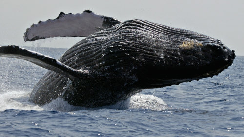 Afternoon Whale Watching Cruise by Body Glove Cruises