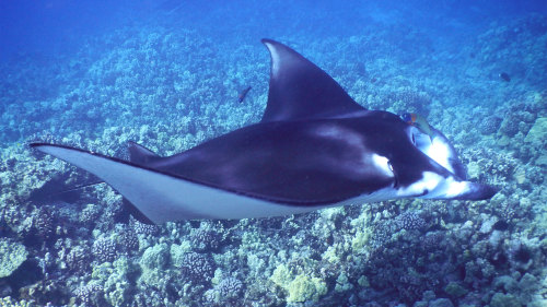 Manta Ray Snorkel at Night by Aloha Kona Tours