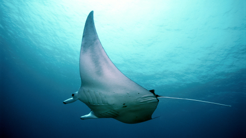 Small-Group Manta Snorkel on a Hawaiian Sailing Canoe