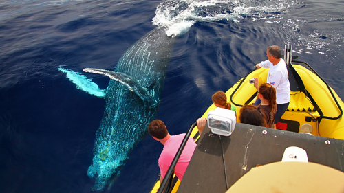 Whale Watching on the Kohala Coast with Snorkel Option