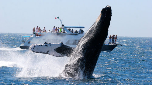 Whale Watching in Los Cabos, Baja California Sur