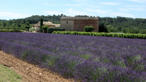 Provence Lavender Morning Tour