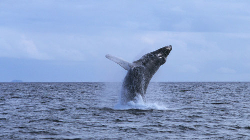 Whales Guaranteed West Oahu Whale Watch Sail