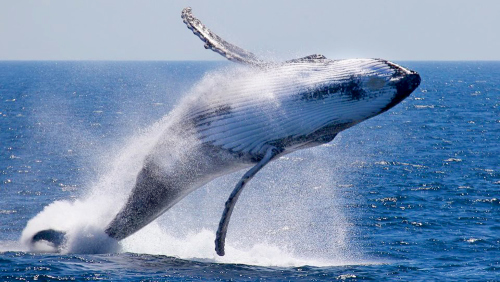 Whale Watching Cruise by Rottnest Fast Ferries
