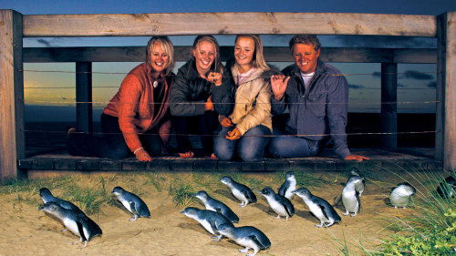 Nighttime Penguin Parade on Phillip Island by AAT Kings