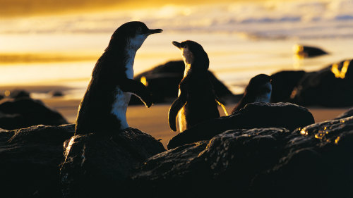 2-Day Phillip Island & Penguin Parade Tour by AAT Kings