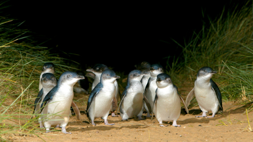 Phillip Island Penguin Parade Full-Day Tour by Go West