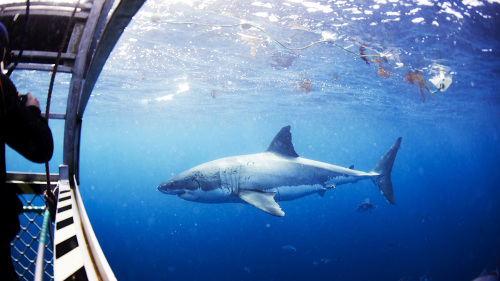 Swim with the Great Whites Experience