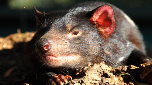 Tasmanian Devil & Wildlife Sanctuary Half-Day Tour by Gray Line