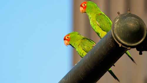 Wild Parrots of Telegraph Hill Walking Tour by Explore San Francisco
