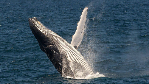Whale Watching Cruise by Captain Cook Cruises