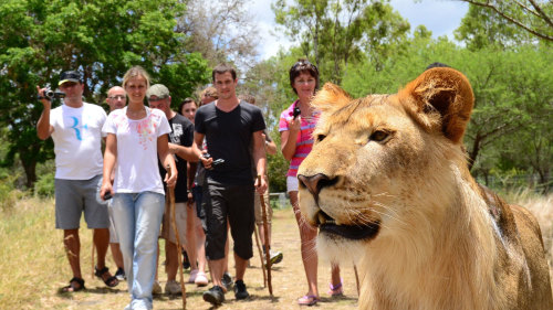 Walk with Lions at Casela Nature Park