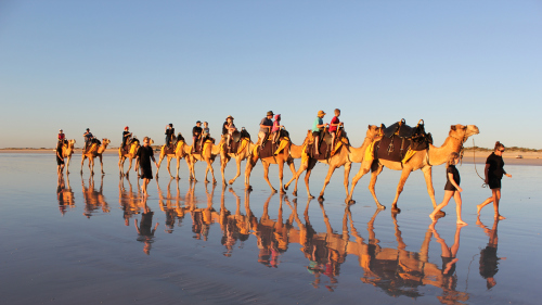 Guided Camel Trek - Sand Dunes & Eucalyptus Forest