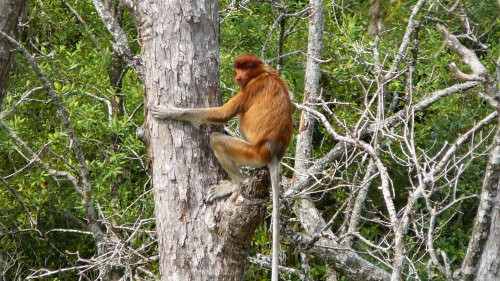 Small-Group Proboscis Monkey River Safari by Urban Adventures