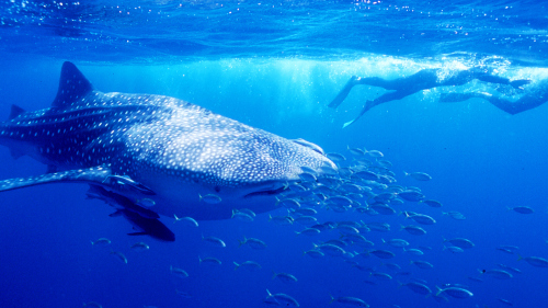 Exmouth Swim with Whale Sharks Eco-Tour by Ningaloo Blue Dive