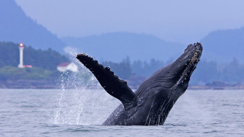Whale Watching from Ucluelet