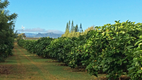 Noni Farm & Wellness Tour