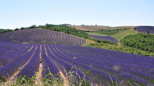 Lavender Afternoon Tour