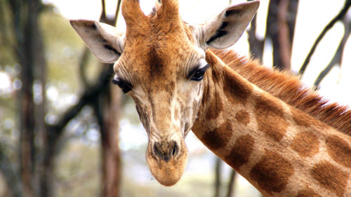 Karen Blixen Museum & Giraffe Center Half-Day Tour