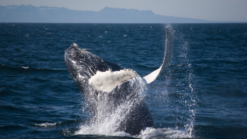 Whale Watching, Blue Lagoon & Keflavik Airport Transfer