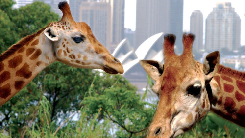 Taronga Zoo & Sky Safari with Sydney Harbour Explorer Cruise